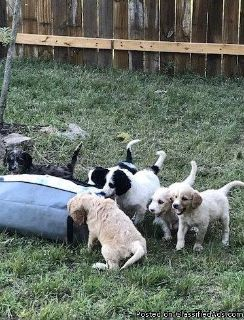 Irishdoodle Puppies for Sale