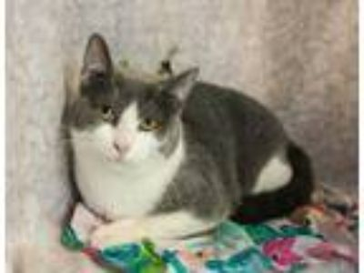 Adopt Sage IV a Gray or Blue (Mostly) Domestic Shorthair / Mixed cat in