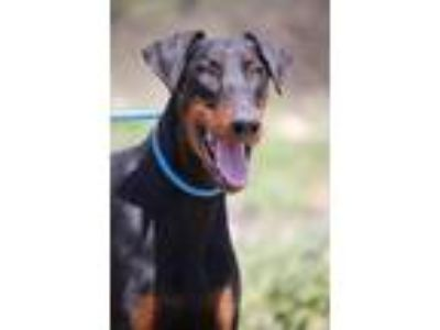 Adopt Aries a Black - with Tan, Yellow or Fawn Doberman Pinscher / Mixed dog in