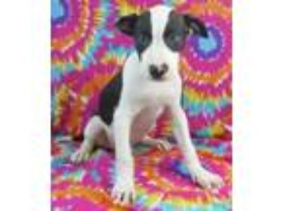 Adopt Ford a Pit Bull Terrier