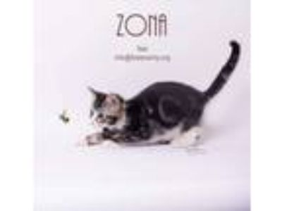 Adopt Zona a Domestic Short Hair