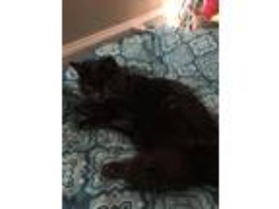 Adopt Forest a All Black Persian / Mixed cat in Plantation, FL (24298788)