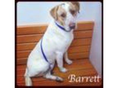Adopt Barrett a Labrador Retriever, Pointer