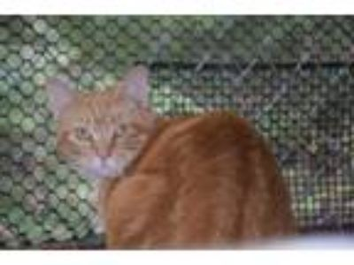 Adopt Puddin a Orange or Red Tabby Domestic Shorthair (short coat) cat in