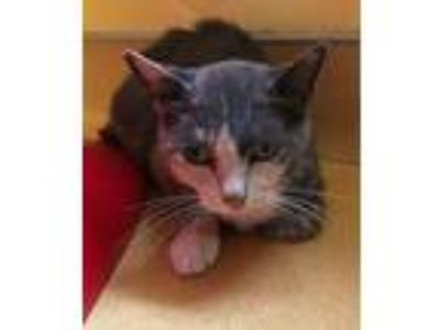 Adopt Stella a Gray or Blue (Mostly) Domestic Shorthair / Mixed (short coat) cat