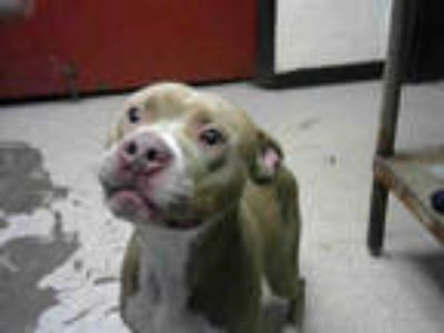 Adopt MEGA a Tan/Yellow/Fawn - with White American Pit Bull Terrier / Mixed dog