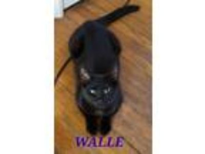 Adopt Walle a Domestic Short Hair