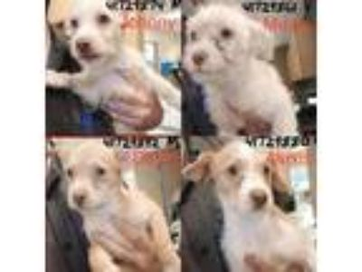 Adopt Rose Family *fosters needed starting 6/9* a White - with Tan