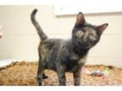Adopt CUTIE a All Black Domestic Shorthair / Domestic Shorthair / Mixed cat in