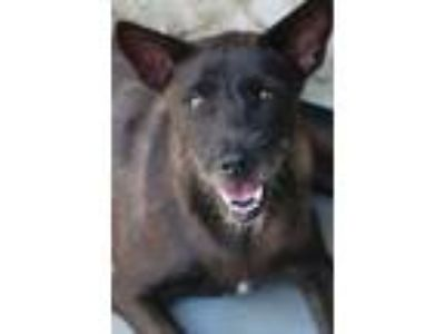 Adopt Atomic a Wirehaired Terrier, Jindo
