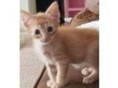 Adopt Marshall a Orange or Red Tabby American Shorthair (short coat) cat in