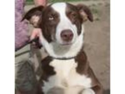 Adopt Lady a Border Collie / Mixed dog in Pittsburgh, PA (25252214)