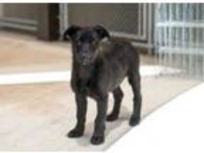 Adopt Marley a Black Labrador Retriever / Mixed dog in Steamboat Springs