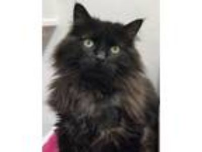 Adopt Licorice Berry (aka 'LB') a Maine Coon, Domestic Long Hair