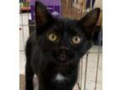 Adopt Huey - 12 weeks a All Black Domestic Shorthair / Mixed (short coat) cat in