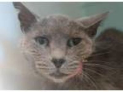 Adopt Liberty a Domestic Short Hair
