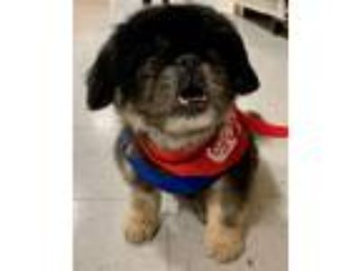 Adopt Ike a Pekingese, Mixed Breed