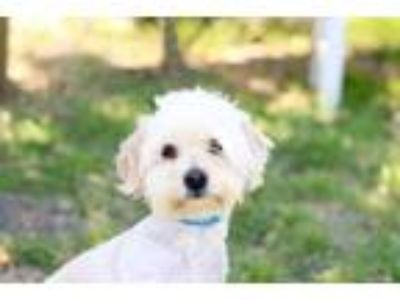 Adopt LUCY a Tan/Yellow/Fawn - with White Lhasa Apso / Mixed dog in Salinas