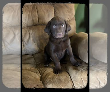Puppy - For Sale Classified Ads in Perry, Michigan - Claz org