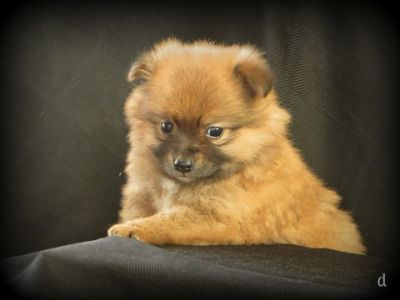 Pomeranian PUPPY FOR SALE ADN-52071 - Darling Pomeranian Puppies  5 wks old