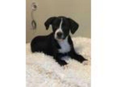 Adopt Brando a Black - with White Border Collie / Beagle / Mixed dog in