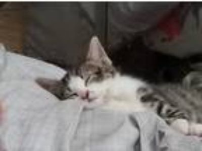 Adopt Neiko a Gray, Blue or Silver Tabby Domestic Shorthair (short coat) cat in