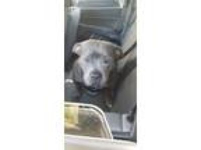 Adopt Maybeline a Staffordshire Bull Terrier