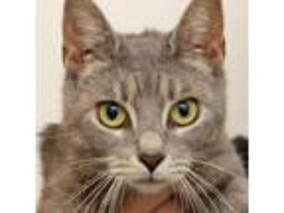 Adopt Ava a Domestic Short Hair