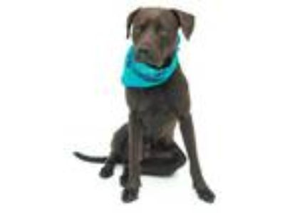 Adopt ROCKY a Brown/Chocolate American Pit Bull Terrier / Labrador Retriever /