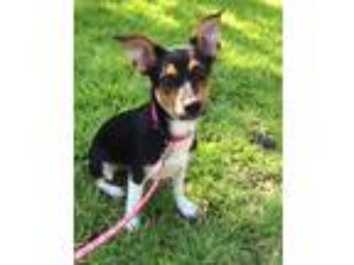 Adopt Shelby TX a Tricolor (Tan/Brown & Black & White) Rat Terrier / Jack