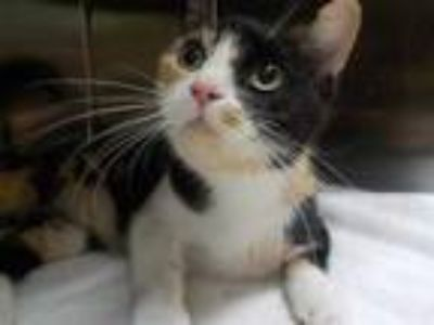 Adopt FLAWLESS a Tortoiseshell Domestic Shorthair / Mixed (short coat) cat in