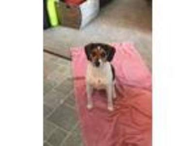 Adopt Stella a Beagle / Mixed dog in Germantown, OH (25337108)