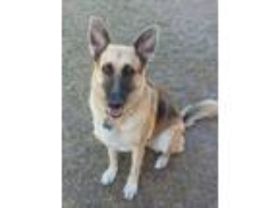 Adopt Brandy a Black - with Tan, Yellow or Fawn German Shepherd Dog / Mixed dog