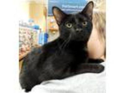 Adopt Huey a All Black Domestic Shorthair / Mixed (short coat) cat in Horn Lake