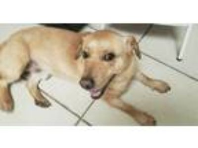 Adopt Yellow Rider a Labrador Retriever, Corgi