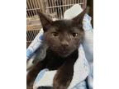 Adopt Stickers a All Black Domestic Shorthair / Domestic Shorthair / Mixed cat