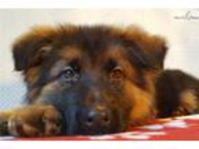 Vom Buflod German Shepherd puppies