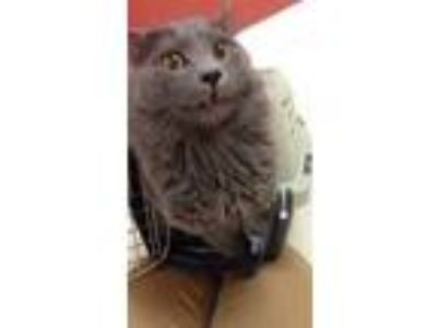 Adopt Danny a Gray or Blue Domestic Longhair / Domestic Shorthair / Mixed cat in