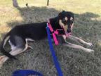 Adopt Blossum a Black - with Tan, Yellow or Fawn Shepherd (Unknown Type) /