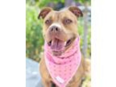 Adopt Sweet Pea a Pit Bull Terrier