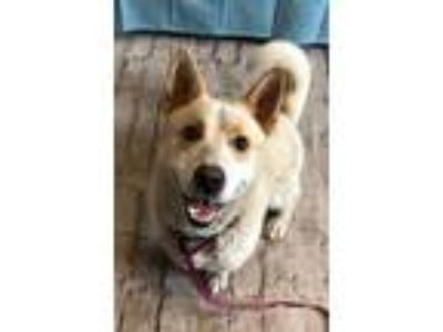 Adopt WOODIE a Australian Cattle Dog / Blue Heeler, Corgi