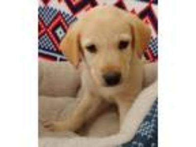 Adopt Stanley a Golden Retriever, Yellow Labrador Retriever