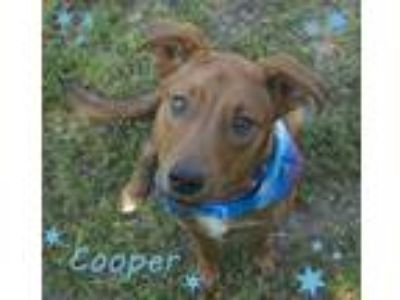 Adopt Cooper a Red/Golden/Orange/Chestnut Labrador Retriever / Mixed dog in