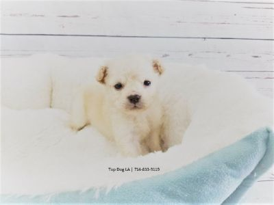 Maltipoo-Female-Margie