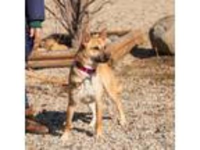 Adopt Sondoss a Tan/Yellow/Fawn Mixed Breed (Medium) / Mixed dog in Jackson
