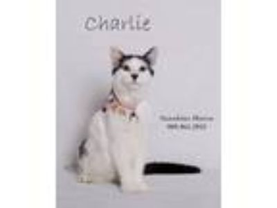 Adopt Charlie a White (Mostly) Domestic Shorthair (short coat) cat in Banning