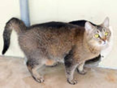 Adopt NUTTY BUTTER a Brown or Chocolate (Mostly) Domestic Shorthair / Mixed