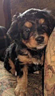 Miniature Bernedoodle-Bernese Mountain Dog Mix PUPPY FOR SALE ADN-82373 - Beautiful MINI BERNADOODLE Puppies