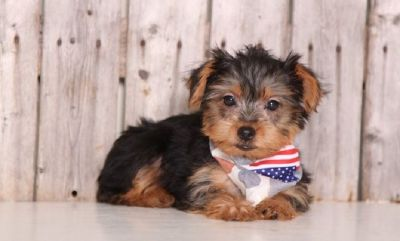 Akc playful tea cup Yorkies puppies.