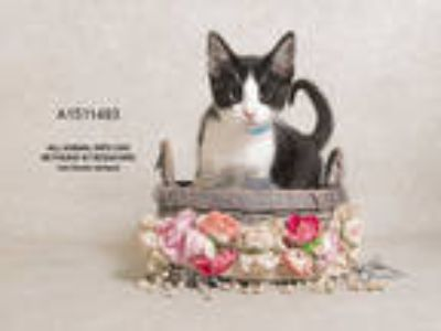 Adopt Cat a White (Mostly) Domestic Shorthair / Mixed (short coat) cat in Jurupa